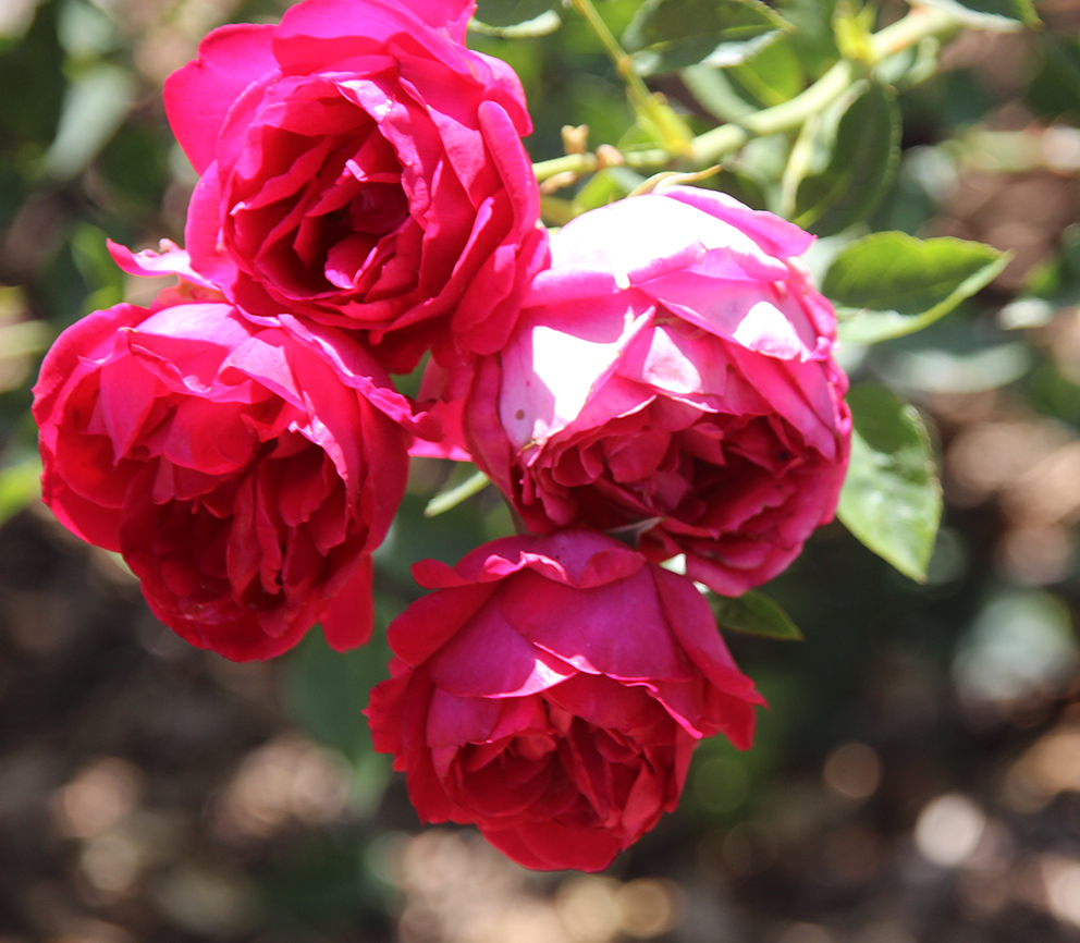 冬天里的玫瑰简谱