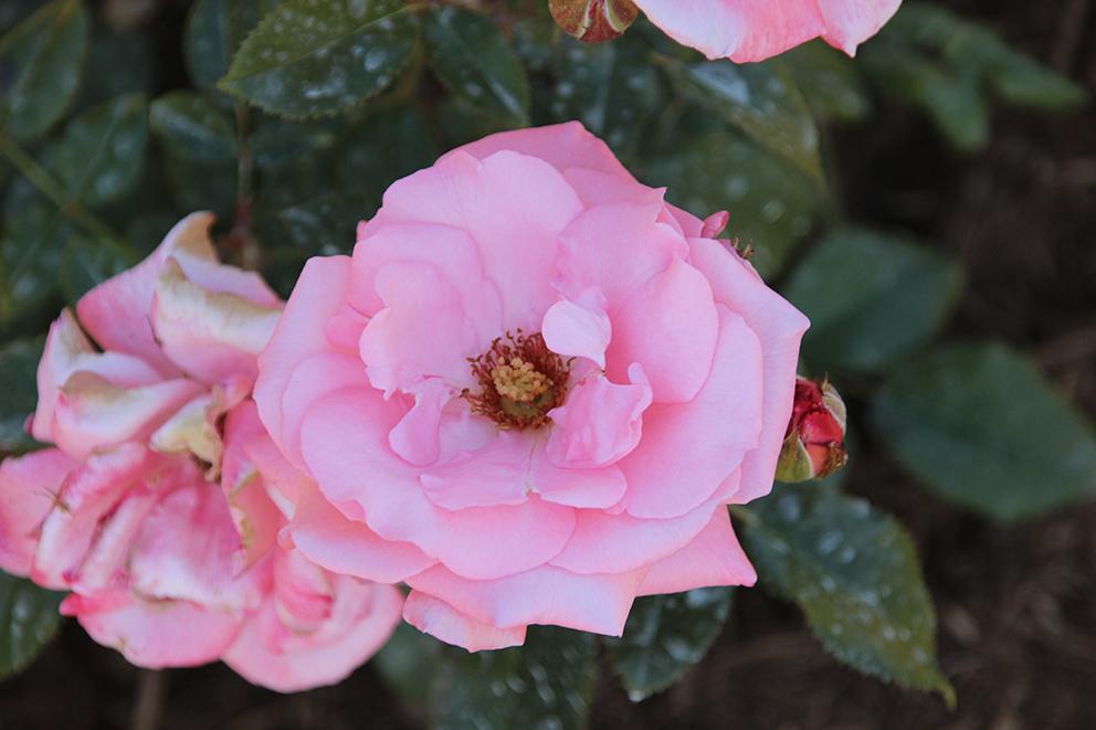 Lilli Marleen 德國Kordes,1955。{Our Princess x Rudolph Timm} x Ama 深紅色花,花非常多群開枝頭,花朵不到三寸,17-25片花瓣。香味極淡。 抗病力不強,易得黑斑及白粉病,宜乾燥氣候,不要夜晚澆水。曾得英國及海牙金獎。  Little Darling Duehrsen, 1956 Capt. Thomas x (Baby Chateau x Fashion) 花是帶黃的珊瑚粉色,僅二寸半,約27片花瓣,花型飄逸美麗。有香料般的香味。植株高約3-4尺