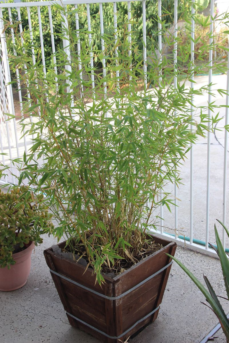 : 竹子怎麼种