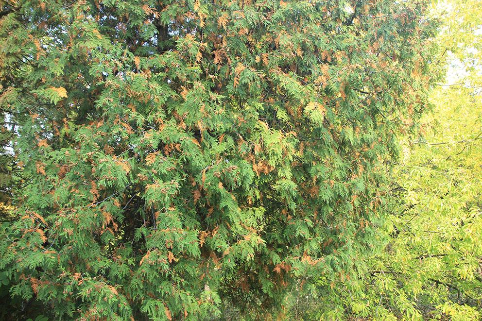 常绿树为什麼变枯