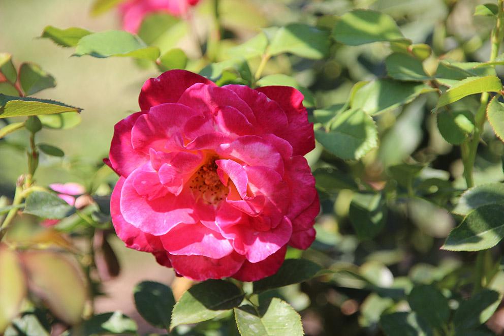 德國Kordes 於1989推出,又叫KORretra。, 紅色花大朵,花型為中高型,花瓣17-25片,花朵約3-4寸,十分美麗,適合展覽。有香味。 耐寒,第六區可以種。  Mount Shasta 美國Swim & Weeks公司於1963培育年推出。Queen Elizabeth x Blanche Mallerin。 是白色高枝大花玫瑰Grandiflora,就是說一枝多花。有香味,(有人說濃香,有人說微香。)大花約四寸半直徑,花瓣不多,約15片花瓣。全季持續開花,適合插花。植株高約四尺,適