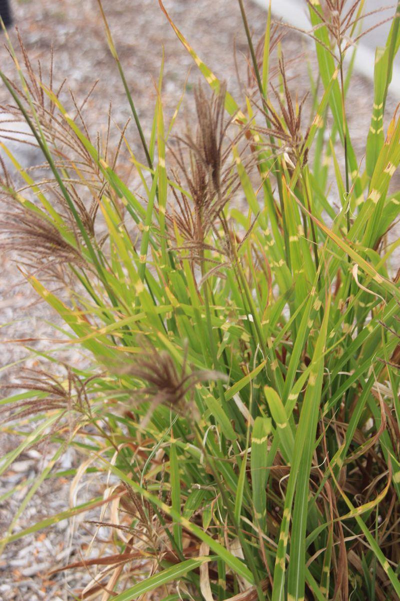 斑叶草有些较矮,有些可以生到六呎以上,最好种在多阳光的地方.图片