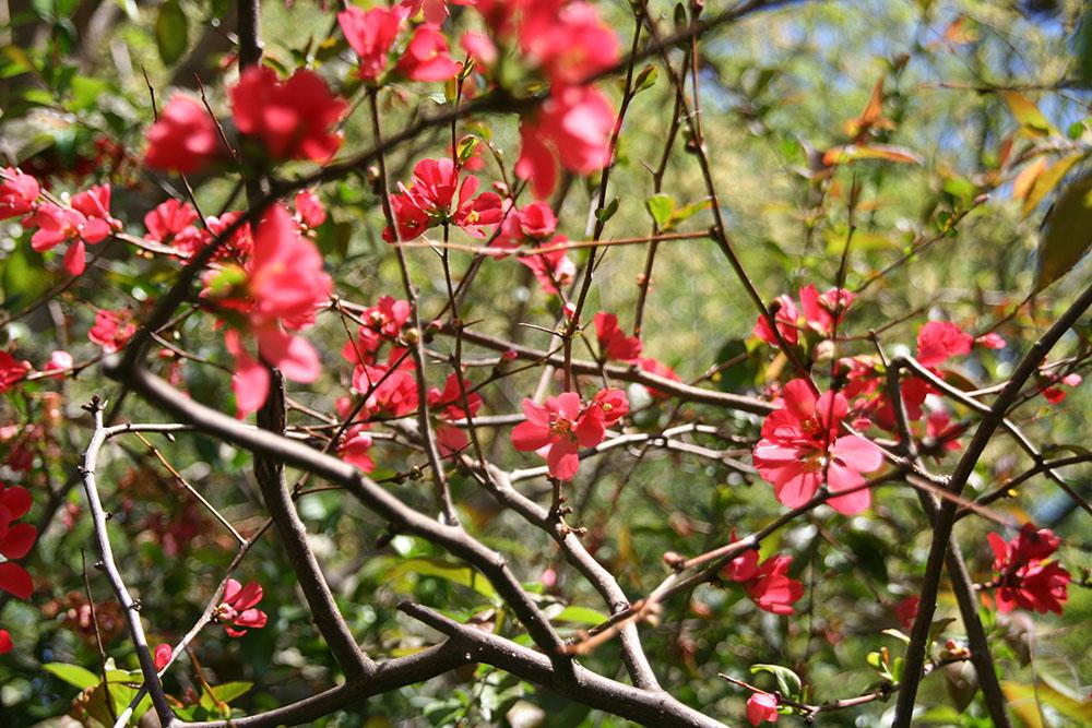於春天开花的灌木