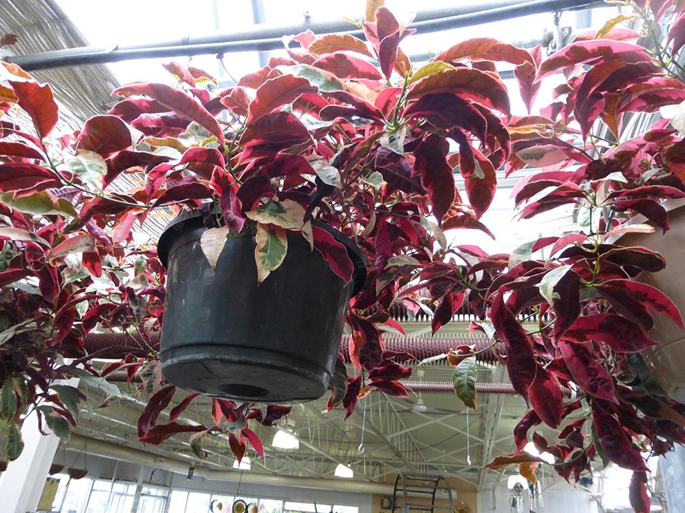 橡胶树ficus robusta