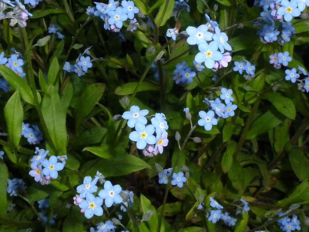 勿忘我又叫Myosotis,是非常矮小的植物,花也非常小.花五瓣,一般图片
