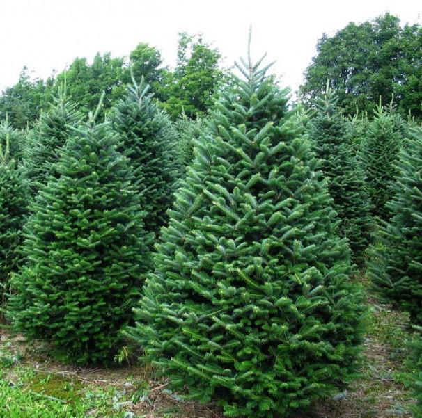 圣诞树种类及优劣